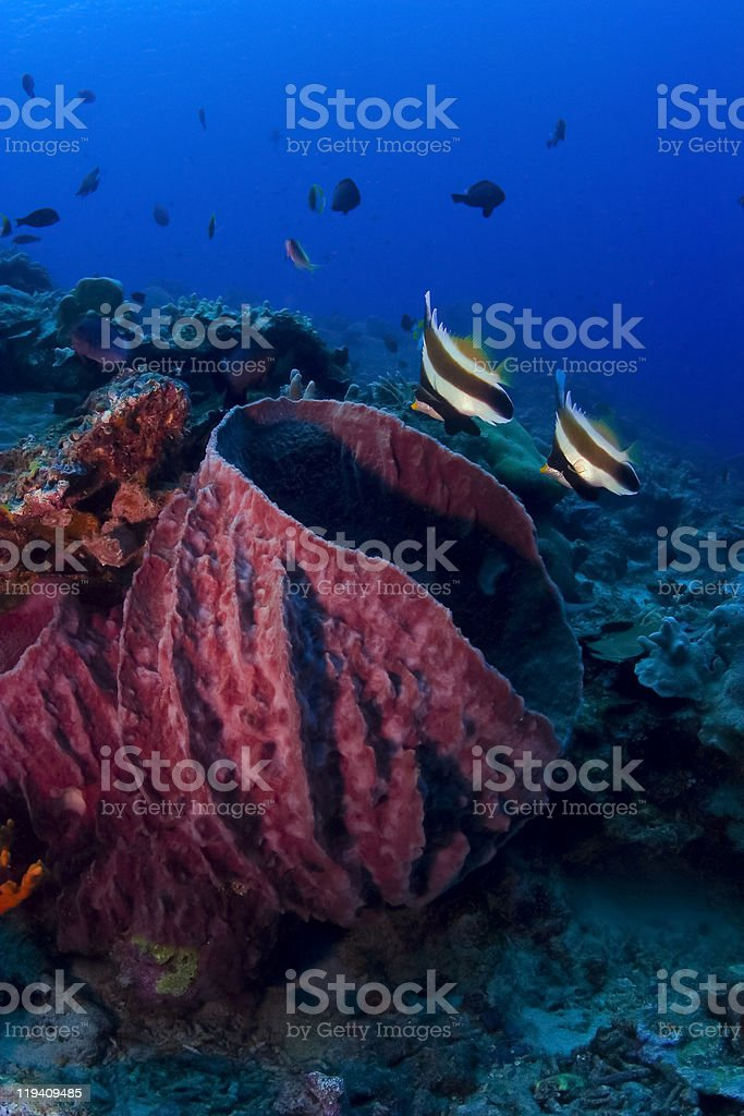 Pair of bannerfish swimming on the coral reef royalty-free stock photo