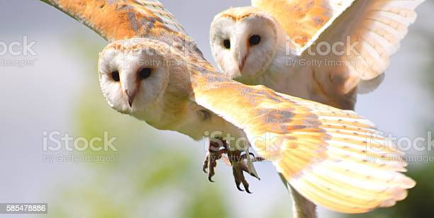 Pair of barn owl birds close up in flight flying picture id585478886?b=1&k=6&m=585478886&s=612x612&h=bfwckxmdbgjtbybhbokepniahr rwutgjd1hyusxpiq=