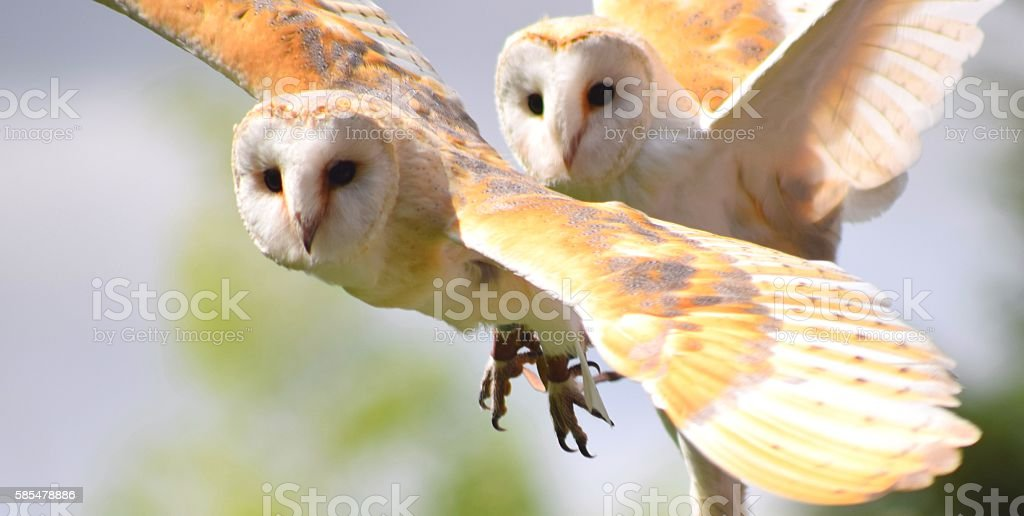 pair of barn owl birds close up in flight flying stock photo