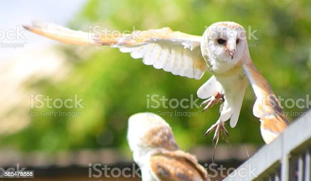 Pair of barn owl birds close up in flight flying picture id585478888?b=1&k=6&m=585478888&s=612x612&h=nk mq2ipxfpqwfragw87nvwreezgawxwwu1cu1v23wo=