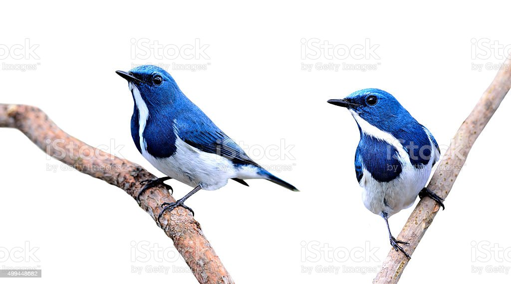 Pair of Beautiful Blue Birds, Ultramarine Flycatchers isolated o stock photo