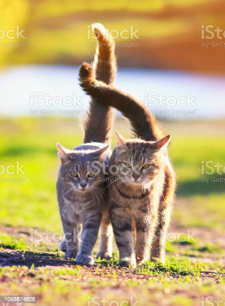 Pair of beautiful loving cats is hugging a green meadow raising their picture id1068874828?b=1&k=6&m=1068874828&s=612x612&h=0yqsiy3m5jbo7kdbd3irbt3u91kpb1layxd mbuniba=
