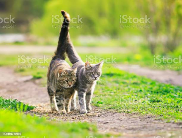 Pair of beautiful loving cats is hugging a green meadow raising their picture id1068874864?b=1&k=6&m=1068874864&s=612x612&h=oyfp8kglyo jf37h1uz0x7yaebfnnhykfi5p5elgfuk=