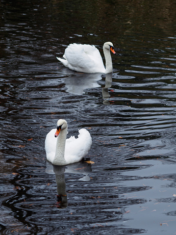 Pair of white swans swimmin in a pond