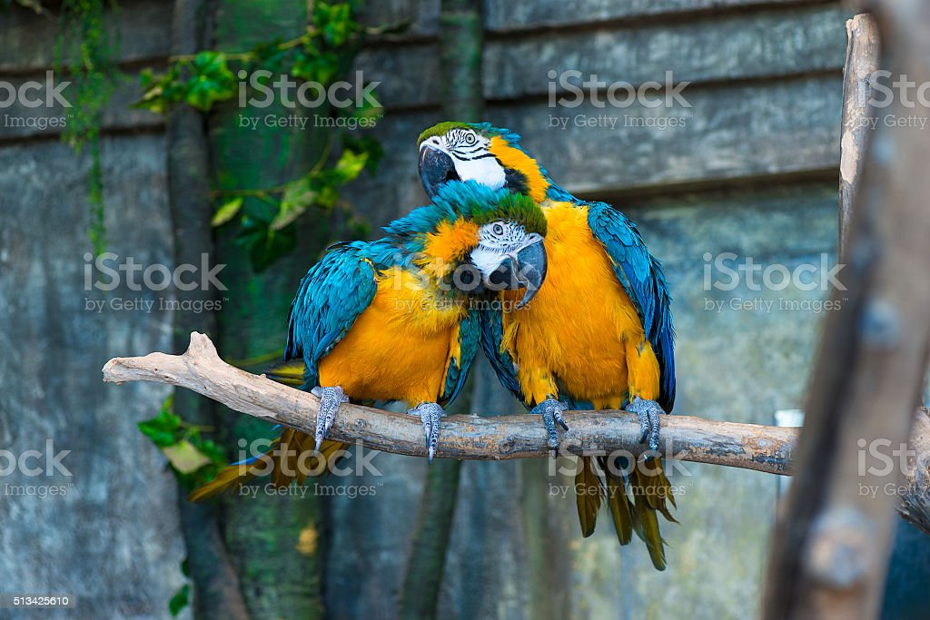 pair of beautiful yellow macaw parrots on branch stock photo