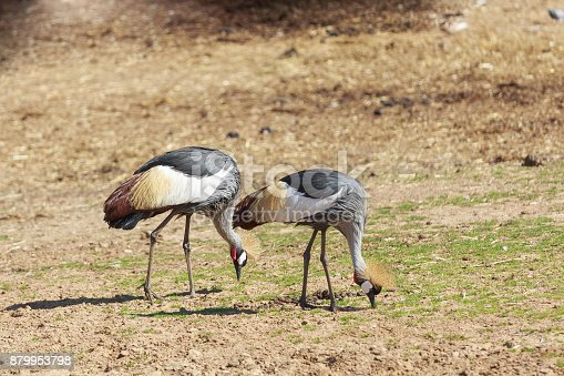 Pair of big crowned cranes eating from ground
