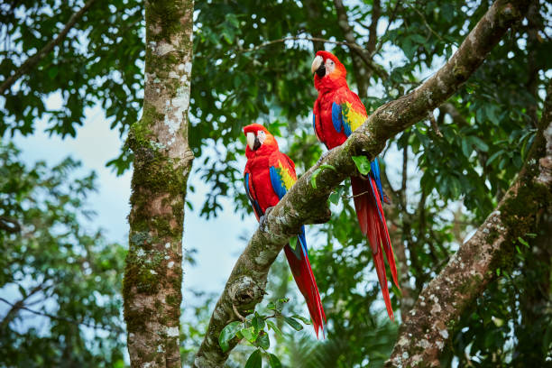 Pair of big Scarlet Macaws, Ara macao, two birds sitting on the branch. Pair of macaw parrots in Costa Rica. Love scene from fain forest. stock photo