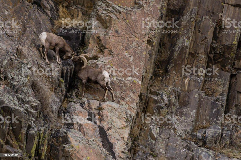 Pair of Bighorn Sheep stock photo