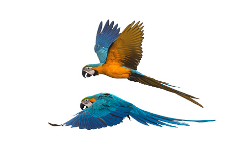 A pair of birds flying isolated on white background ,Blue and gold macaw