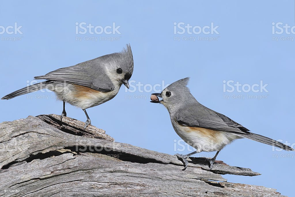 Pair of Birds With A Peanut stock photo