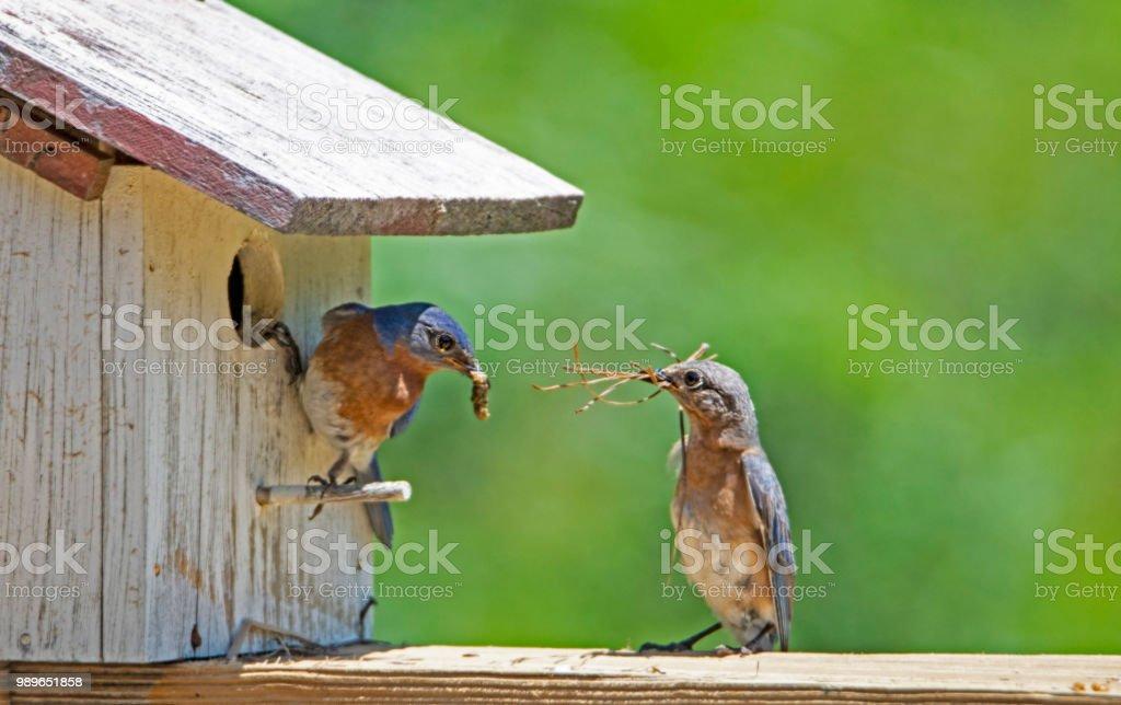 Bluebirds mitzubringen Stöcke und Würmer, die das Vogelhaus. – Foto