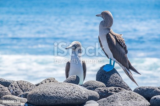 Pair of Blue-footed Boobies on the Lava Rocks by the Sea on North Seymour Islands, Galapagos Islands, Ecuador