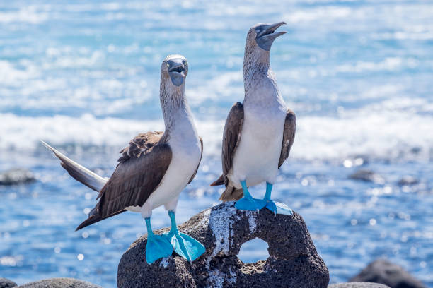Pair of Blue-footed Boobies on the Lava Rocks by the Sea stock photo