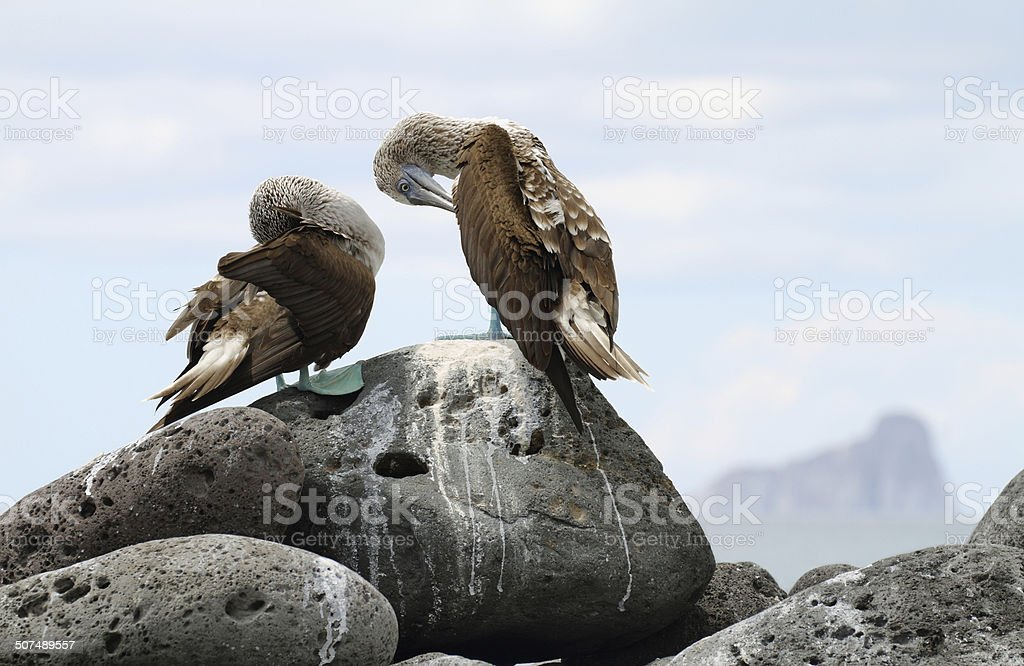 Pair of Blue-footed Booby (Sula nebouxii) stock photo