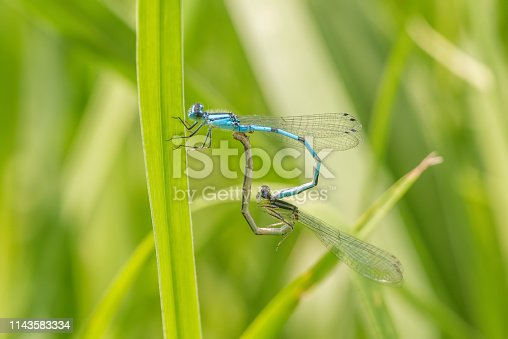 Pair of bluet damselflies perched and breeding on a blade of grass