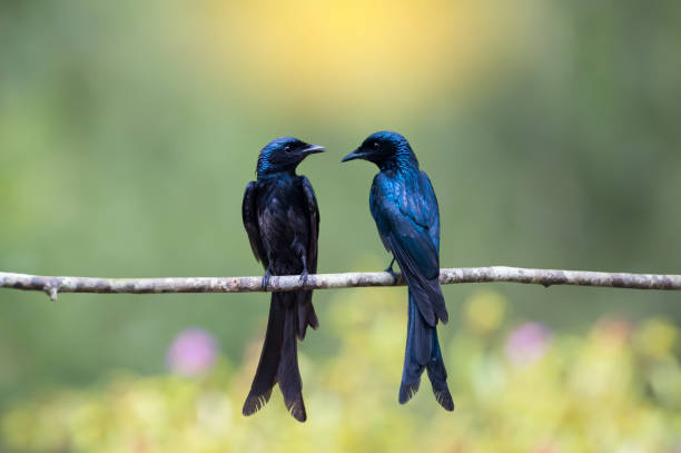 Pair of Bronze Drongo bird (Dicrurus aeneus) face to face stock photo