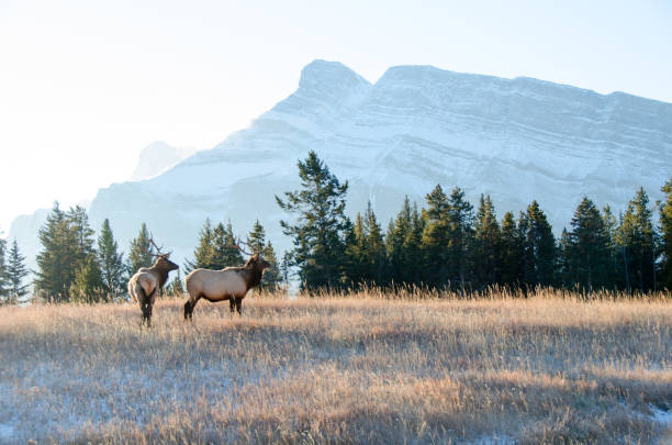 Pair of bull elk in mountain grassland  Banff stock photo