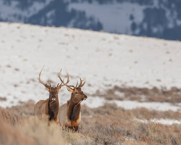 Pair of bull elk in winter stock photo