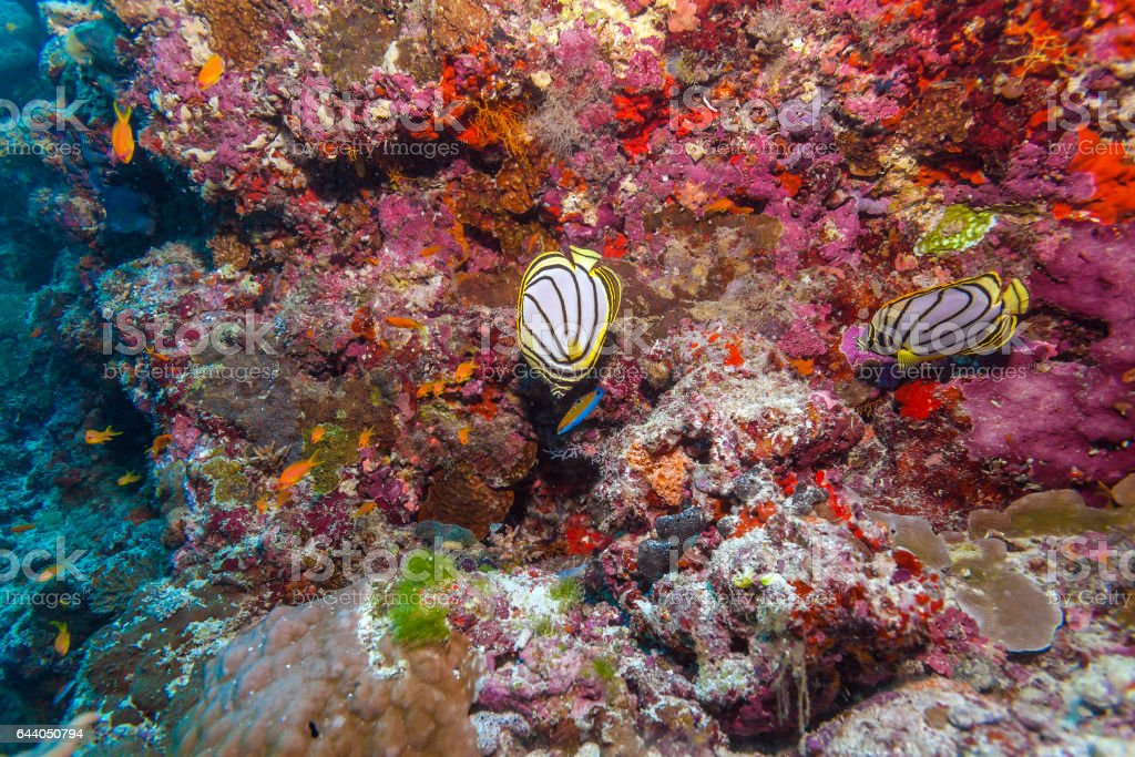 Pair of Butterfly Fishes in Coral Reef, Maldives stock photo