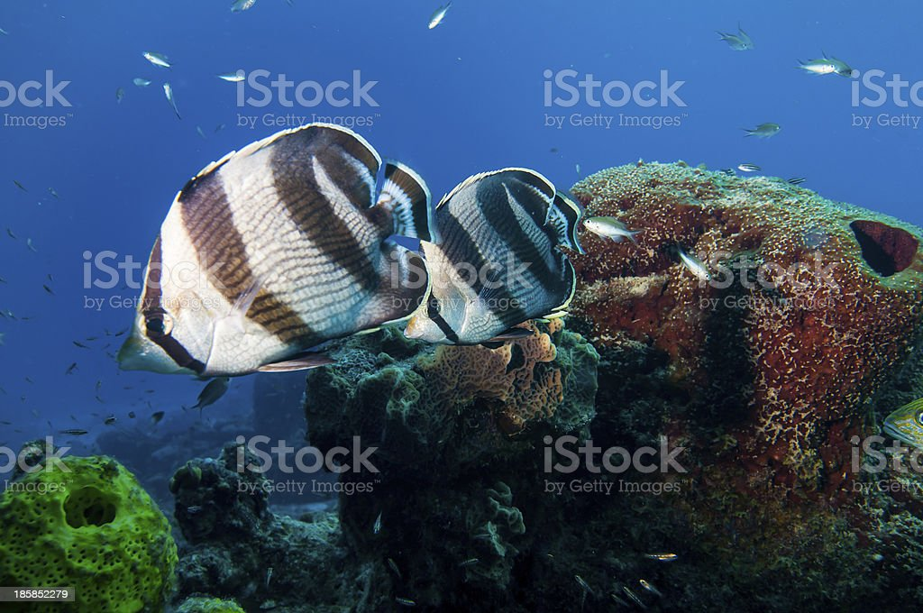 Pair of butterfly fishes stock photo