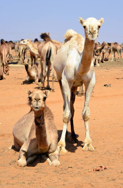 Pair of camels staring at the camera - Camel market at Mowailih Cattle Market, Omdurman, Khartoum, Sudan Omdurman, Khartoum, Sudan: Mowailih Cattle Market - camel market omdurman stock pictures, royalty-free photos & images
