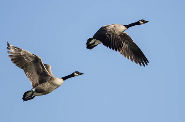 Pair of Canada Geese Flying in a Blue Sky Pair of Canada Geese Flying in a Blue Sky canada goose stock pictures, royalty-free photos & images