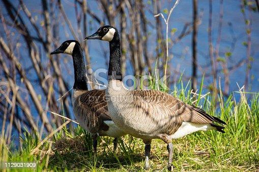 Pair of canada geese (branta canadensis) in springtime