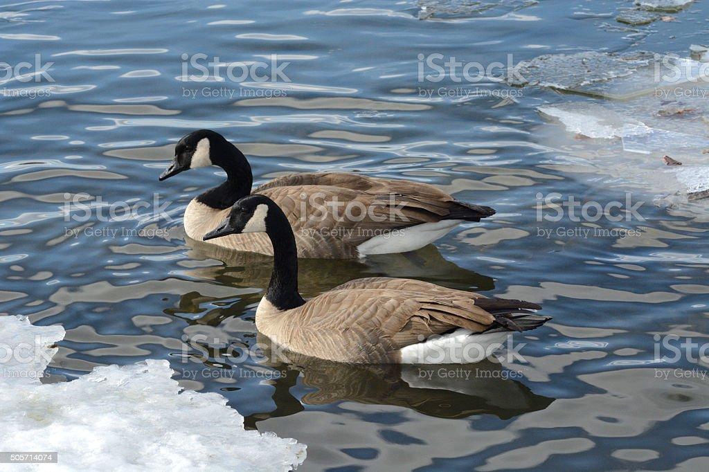 Paire d'oies du Canada - Photo