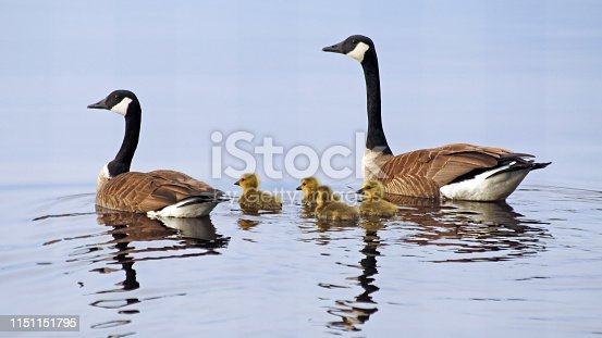 A pair of Canada Geese swimming on lake with their newborn baby goslings