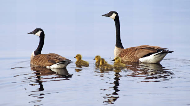 A pair of Canada Geese swimming on lake with their newborn baby goslings A pair of Canada Geese swimming on lake with their newborn baby goslings canada goose stock pictures, royalty-free photos & images