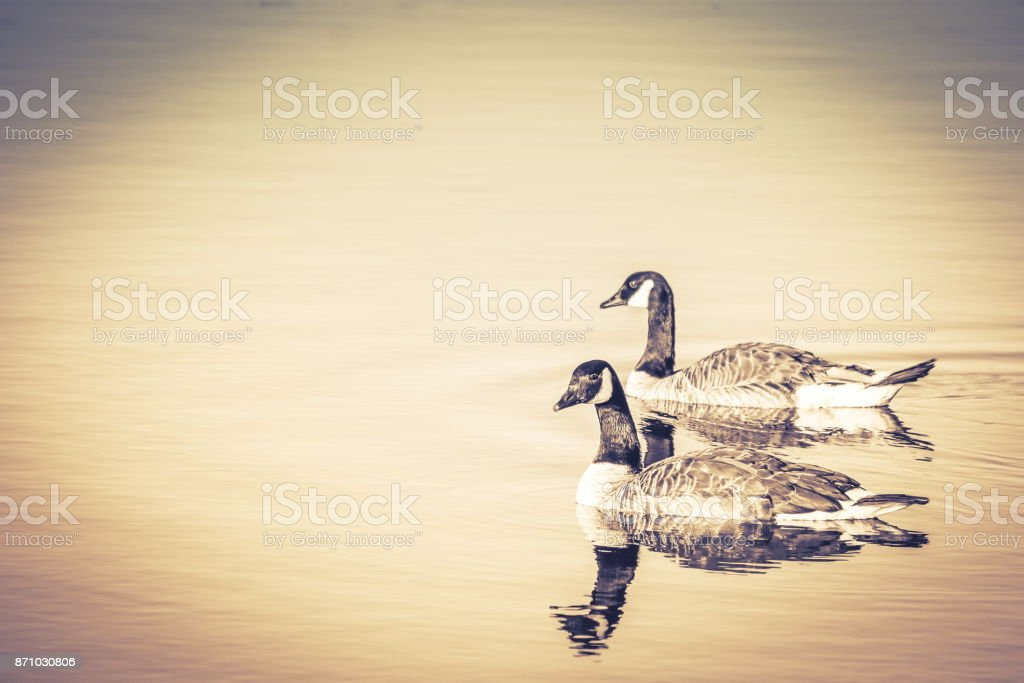 A pair of Canadian Geese (Branta canadensis) stock photo