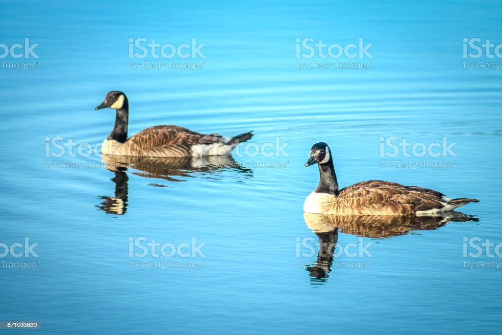 A pair of Canadian Geese stock photo