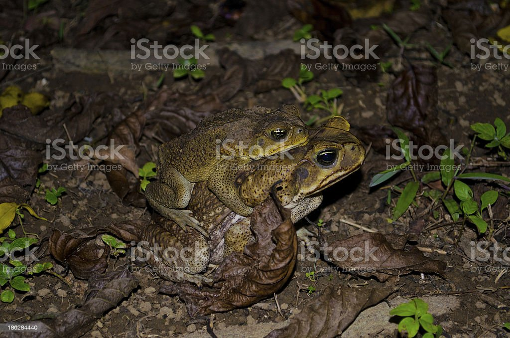 Pair of Cane Toads Mating stock photo