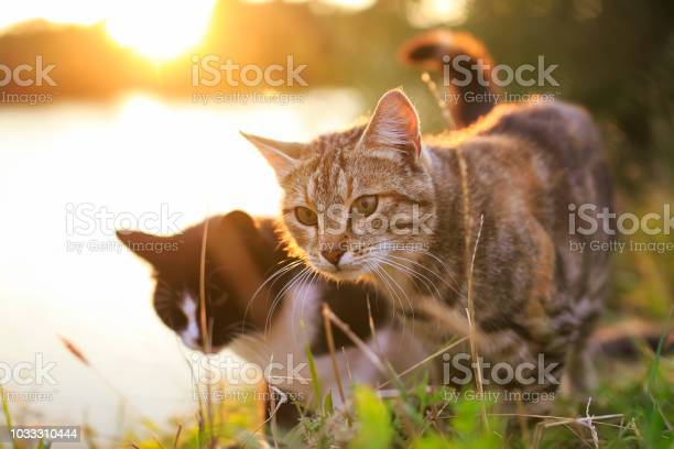 Pair of cats walking in the summer meadow on the background of a picture id1033310444?b=1&k=6&m=1033310444&s=612x612&h=hipdsgmao 17kytpi1aua vobz9t0inkoqwvzme1wdc=