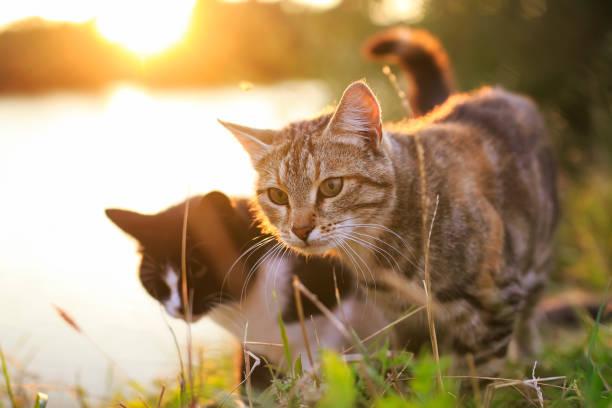 Pair of cats walking in the summer meadow on the background of a picture id1033310444?b=1&k=6&m=1033310444&s=612x612&w=0&h=hlpy5i8ahszz4wk0hog40o8wf gi3ltuhcl4m9obsjw=