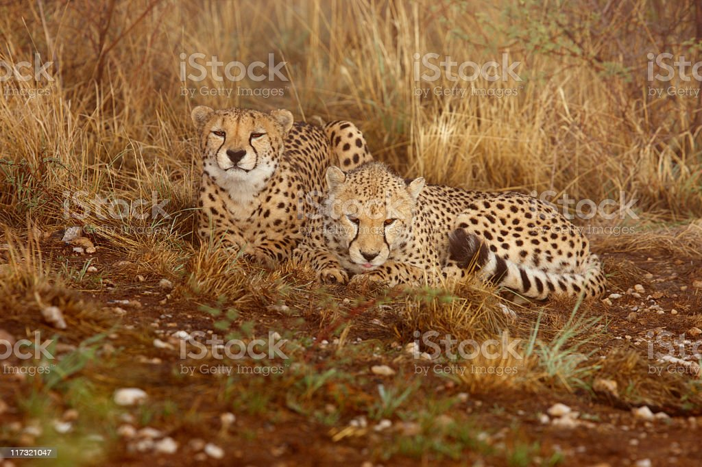 Pair of cheetah having a rest stock photo