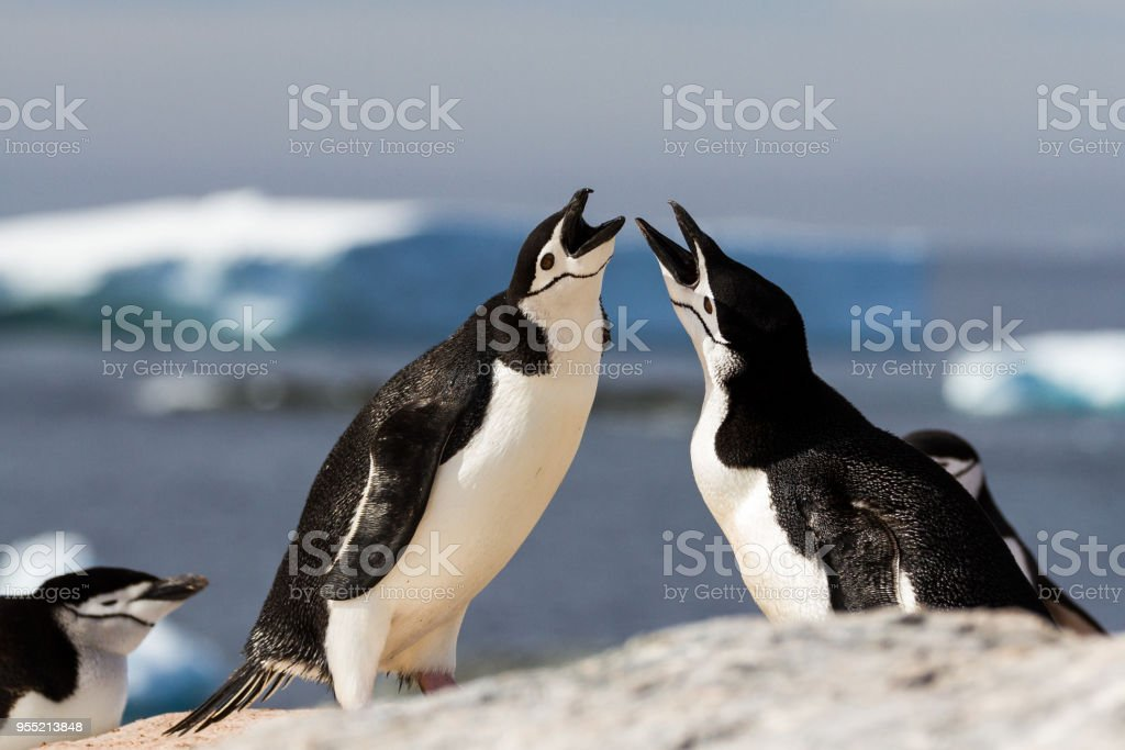 A pair of chinstrap penguins (Pygoscelis antarcticus) greeting each other with a mating display, Antarctica stock photo