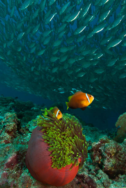 Pair of clown fish hover above their anemone as a silver school of fish pass over. A beautiful reef scene of a pair of clown fish hover above their anemone as a silver school of fish pass over. anemonefish stock pictures, royalty-free photos & images