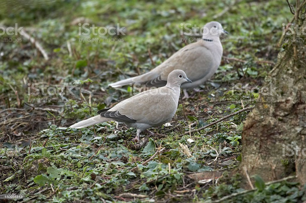 Pair of collared doves in undergrowth royalty-free stock photo