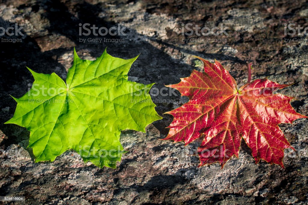 Pair of colorful maple leafes stock photo