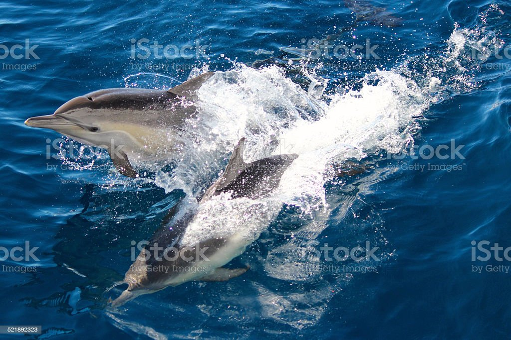 Pair of Common Dolphin stock photo