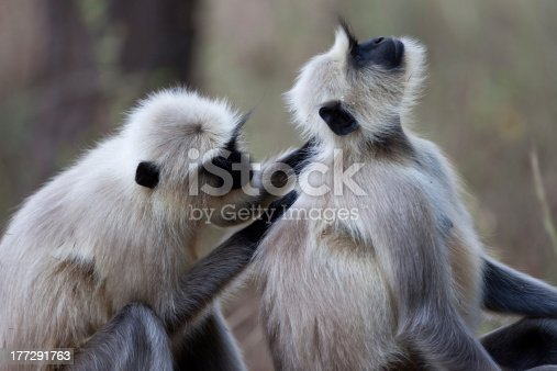 A high resolution image of Common Langur monkeys grooming each other