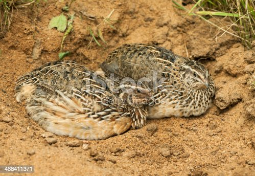 Common quails (Coturnix coturnix). Rooster and hen lying in sand.