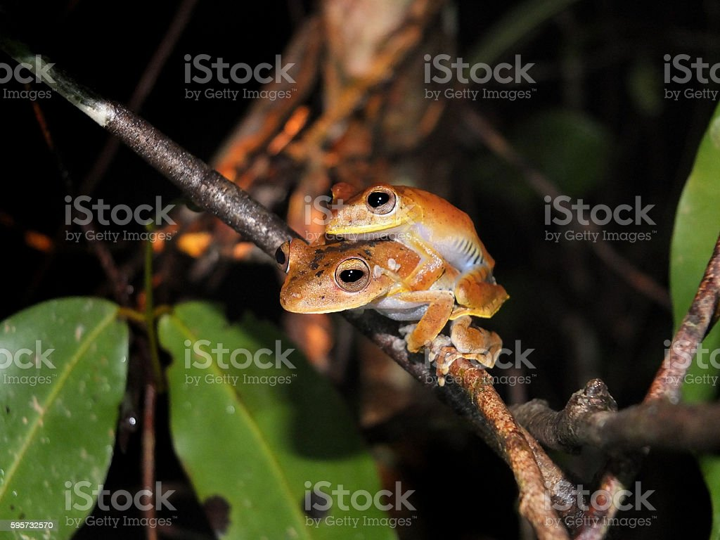 Pair of Convict tree frog at night stock photo