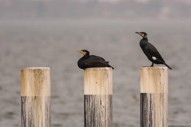 Paar Kormorane auf Pflöcken in einem Hafen – Foto