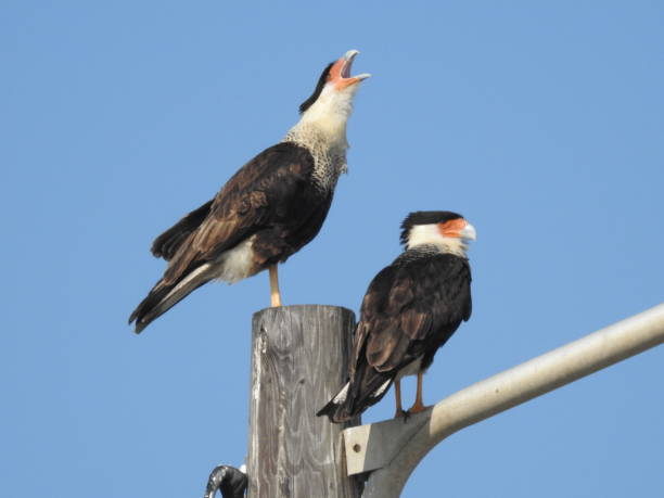 Pair of crested caracara before blue sky stock photo