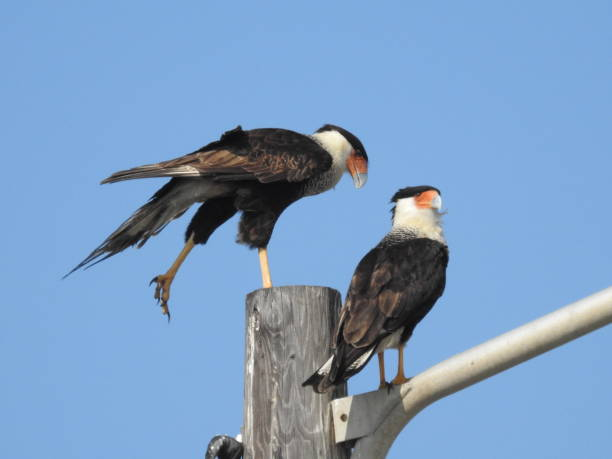 Pair of crested caracara, humorous pose stock photo
