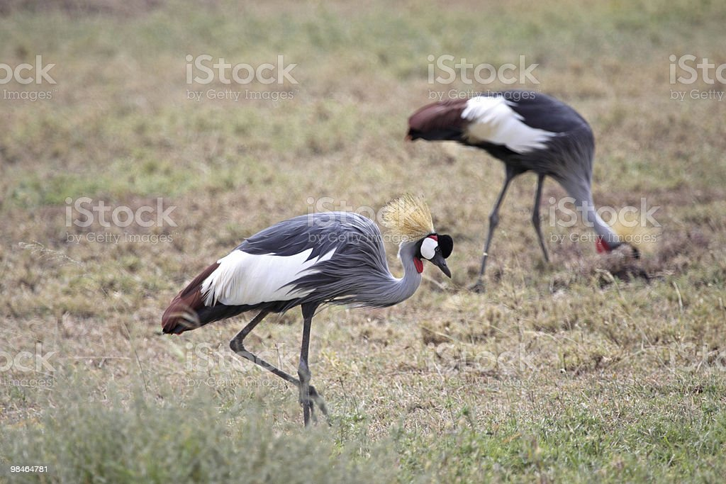 Pair Of Crowned Cranes royalty-free stock photo