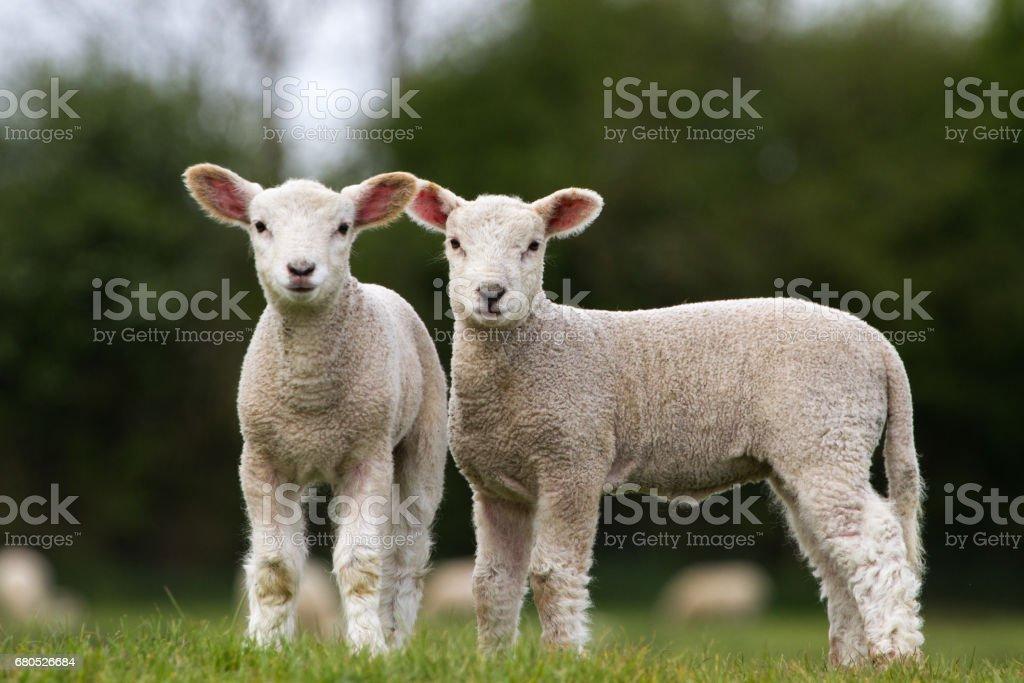 Paire d'agneaux mignon regardant la caméra se trouvait dans le champ - Photo