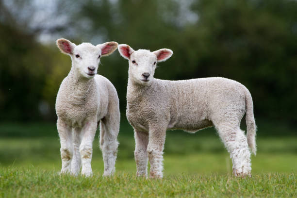 Pair of Cute Lambs looking right of camera stood in field stock photo